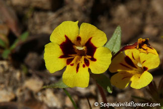 Harlequin Monkeyflower