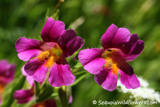 Lewis' Monkeyflower