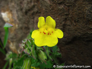 Mountain Monkeyflower