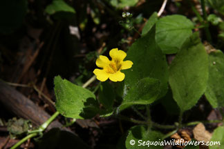 Musk Monkeyflower