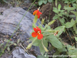 Scarlet Monkeyflower