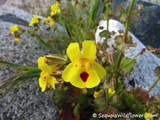 Seep-spring Monkeyflower